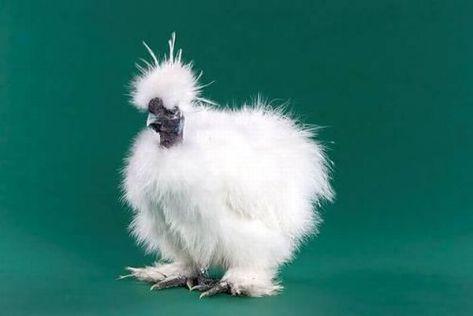 round chicken